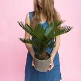 Water & Light Plant Shop Cycas Revoluta Sago Plant lifestyle with girl