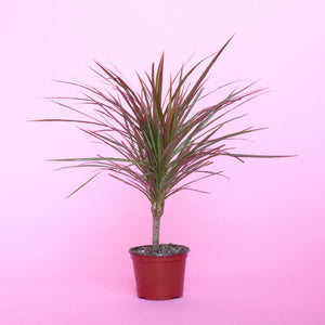 Water & Light Plant Shop Small Dracaena Marginata Plant in nursery pot