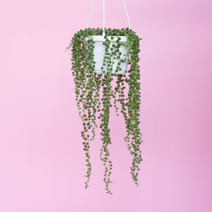 Water & Light Plant Shop Senecio Rowleyanus String of Pearls Plant hanging in nursery pot