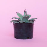 Water & Light Plant Shop Artichoke Agave in nursery pot