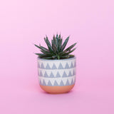 Water & Light Plant Shop Victoriae Reginae Queen Victoria Agave in blue pot
