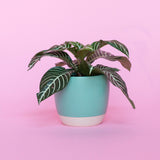 Water & Light Plant Shop Aphelandra Squarrosa Zebra Plant in green pot