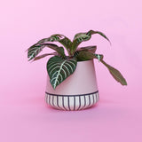 Water & Light Plant Shop Aphelandra Squarrosa Zebra Plant in pink pot