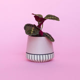 Water & Light Plant Shop Leuconeura Erythroneura Red Maranta Plant in pink pot