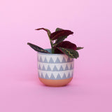 Water & Light Plant Shop Red Maranta Plant in blue pot