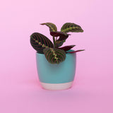 Water & Light Plant Shop Red Leuconeura Erythroneura Maranta Plant in green pot