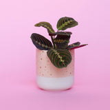 Water & Light Plant Shop Leuconeura Erythroneura Red Maranta Plant in orange pot