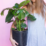 Water & Light Plant Shop girl with Monstera Deliciosa Bush Plant in nursery pot