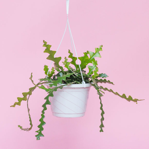 Water & Light Plant Shop Cryptocereus Anthonyanus Fishbone Cactus Plant hanging in white pot