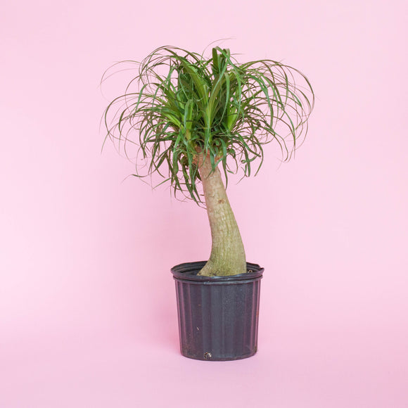 Water & Light Plant Shop Beaucarnea Ponytail Palm in nursery pot