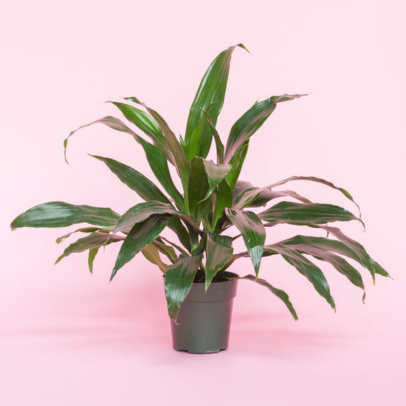 Water & Light Plant Shop Dracaena Art Plant in nursery pot