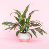 Water & Light Plant Shop Dracaena Art Fragrans Plant in white and pink pot