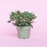 Water & Light Plant Shop Jade Bush Plant in nursery pot