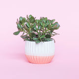 Water & Light Plant Shop Crassula Argentea Jade Bush Plant in white and pink pot