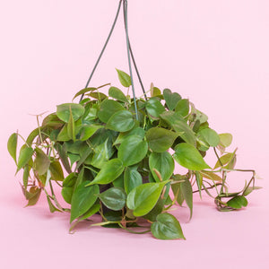 Water & Light Plant Shop Scandens Hederaceum Heartleaf Philodendron Cordatum Plant in nursery pot