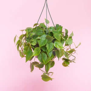 Water & Light Plant Shop Heartleaf Philodendron Cordatum Plant hanging in nursery pot