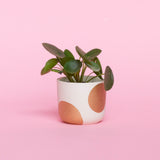 Water & Light Plant Shop Chinese Money Plant in dots pot