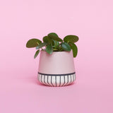 Water & Light Plant Shop Chinese Money Plant in pink pot