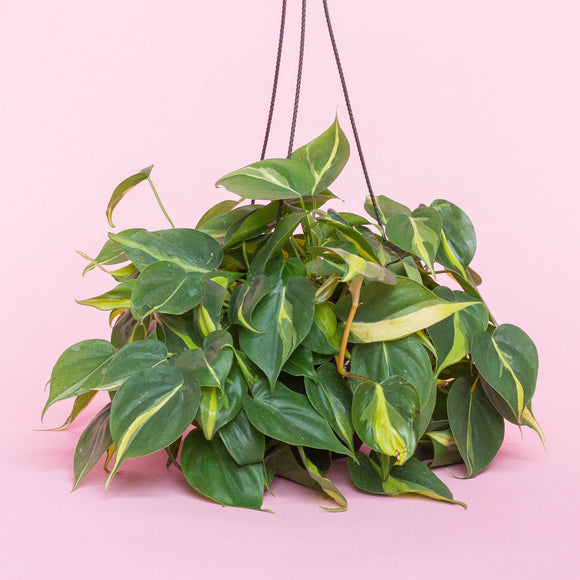 Water & Light Plant Shop Philodendron Brazil in nursery pot