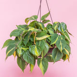 Water & Light Plant Shop Hederaceum Philodendron Brazil hanging in nursery pot