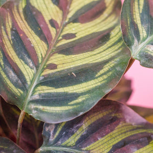 Water & Light Plant Shop Calathea Peacock leaf