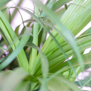 Water & Light Plant Shop Beaucarnea Ponytail Palm leaf detail