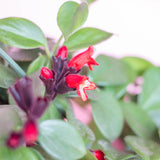 Water & Light Plant Shop Aeschynanthus Radicans Lipstick Plant flower and leaf detail