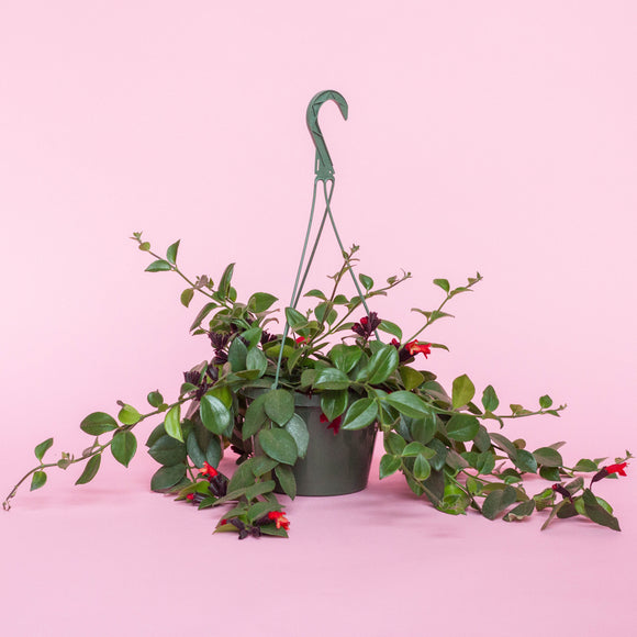 Water & Light Plant Shop Aeschynanthus Radicans Lipstick Plant in nursery pot