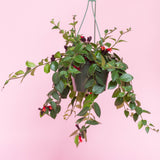 Water & Light Plant Shop Aeschynanthus Radicans Lipstick Plant hanging in nursery pot