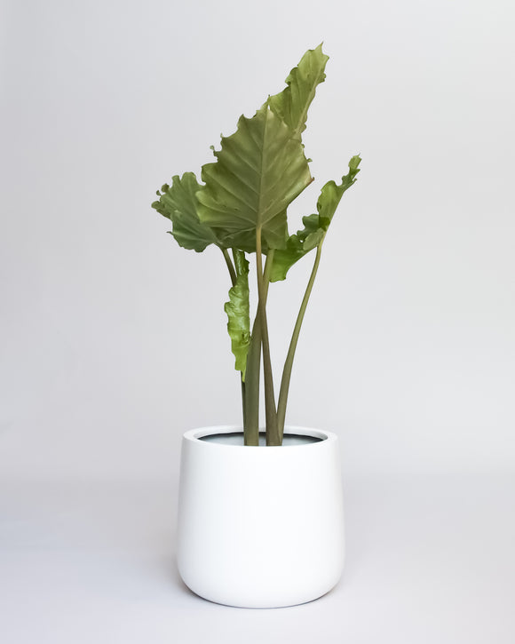 Water & Light Plant Shop Elephant Ear Alocasia Borneo Giant in white pot