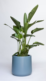 Water & Light Plant Shop Strelitzia Bird of Paradise in blue pot