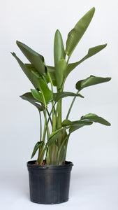 Water & Light Plant Shop Strelitzia Bird of Paradise in nursery pot