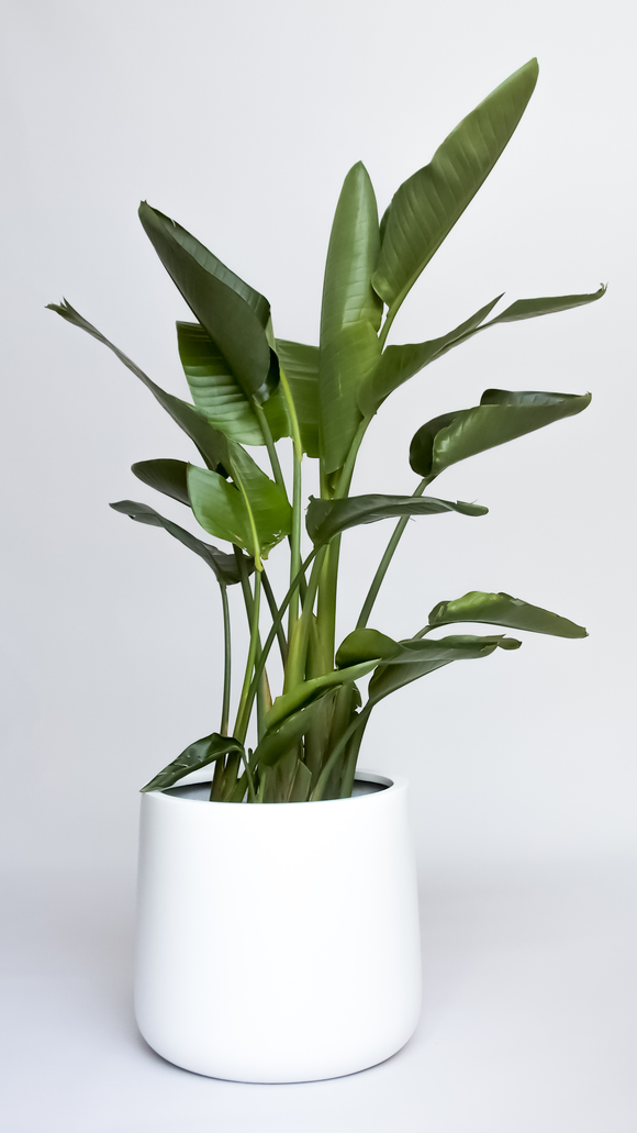 Water & Light Plant Shop Strelitzia Bird of Paradise in white pot