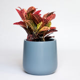 Water & Light Plant Shop Cordiaeum Variegatum Croton Petra Plant in blue pot