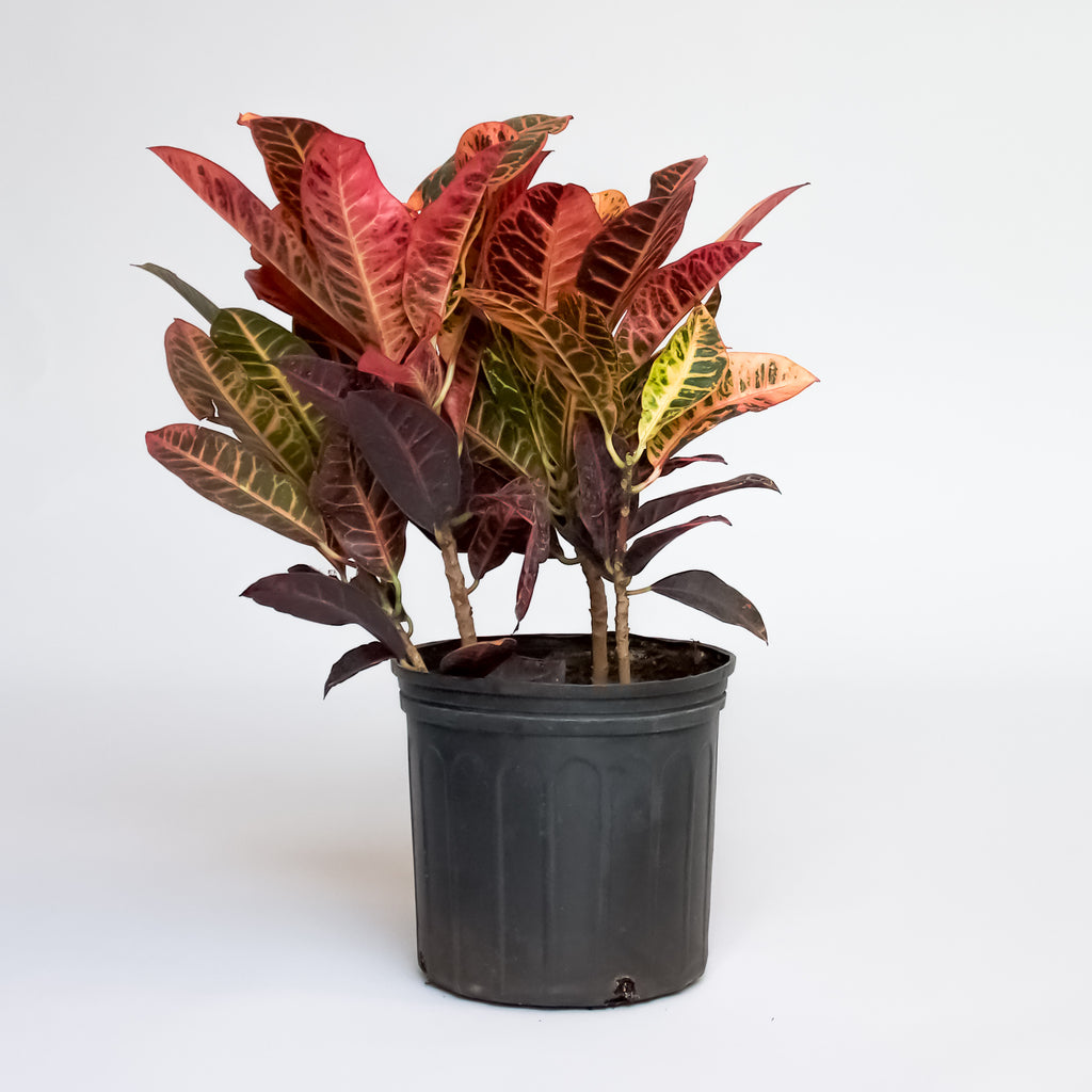 Water & Light Plant Shop Cordiaeum Variegatum Croton Petra Plant in nursery pot