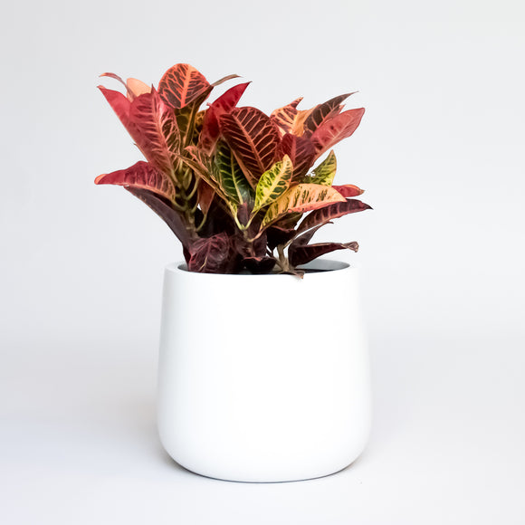 Water & Light Plant Shop Cordiaeum Variegatum Croton Petra Plant in white pot
