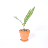 Water & Light Plant Shop Dioon Edule Plant in terra cotta pot