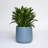 Water & Light Plant Shop Chinese Evergreen Aglaonema in blue pot