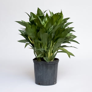 Water & Light Plant Shop Chinese Evergreen Aglaonema Spring Snow in nursery pot