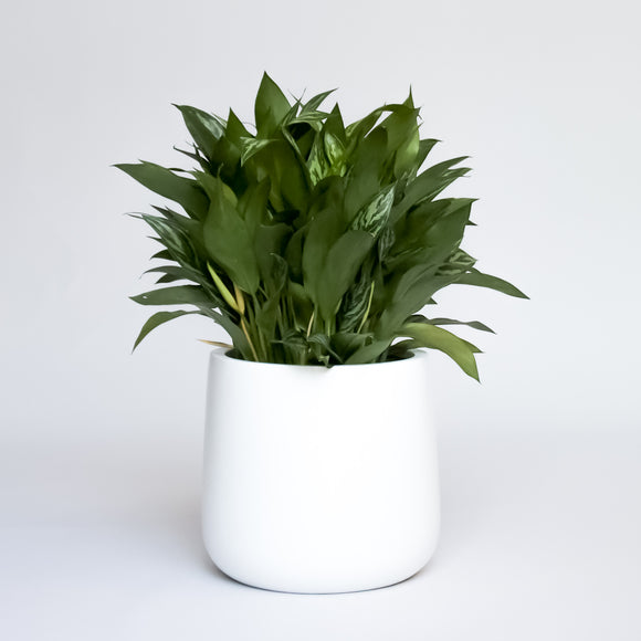 Water & Light Plant Shop Chinese Evergreen Aglaonema Spring Snow in white pot