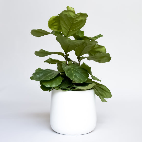 Water & Light Plant Shop Fiddle Leaf Fig Ficus Lyrata Bush in white pot