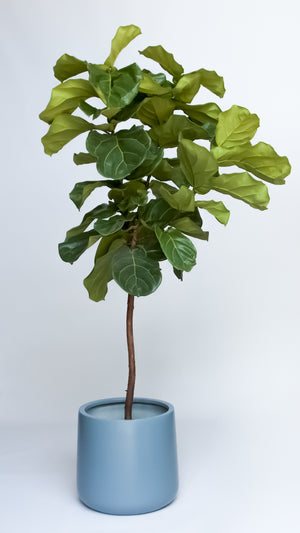 Water & Light Plant Shop 6' tall Fiddle Leaf Fig Ficus Lyrata Tree in blue pot