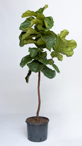 Water & Light Plant Shop 6' tall Fiddle Leaf Fig Ficus Lyrata Tree in nursery pot