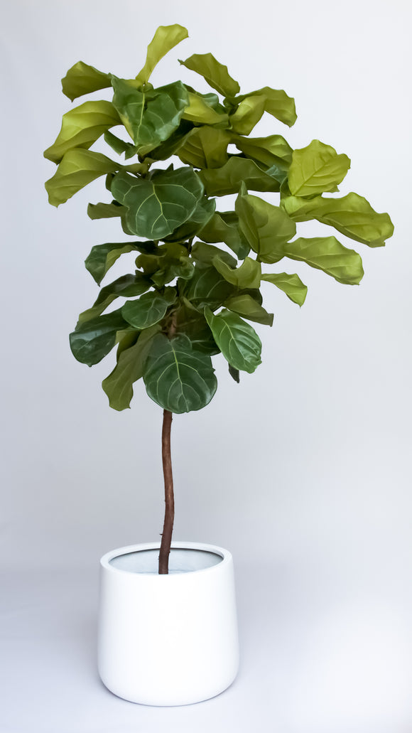 Water & Light Plant Shop 6' tall Fiddle Leaf Fig Ficus Lyrata Tree in white pot
