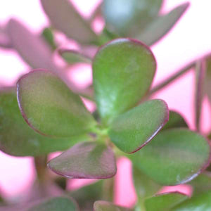 Water & Light Plant Shop Crassula Argentea Jade Bush Plant leaf detail
