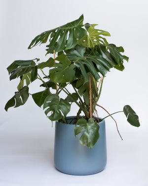 Water & Light Plant Shop Large Monstera Deliciosa Plant in blue pot