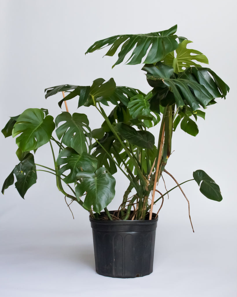 Water & Light Plant Shop Large Philodendron Monstera Deliciosa Plant in nursery pot