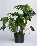 Water & Light Plant Shop Large Monstera Deliciosa Plant in nursery pot