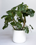 Water & Light Plant Shop Large Monstera Deliciosa Plant in white pot