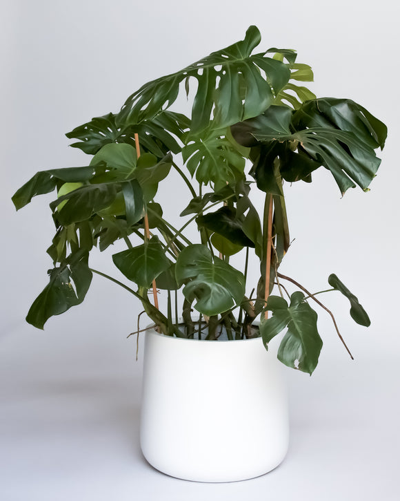 Water & Light Plant Shop Large Philodendron Monstera Deliciosa Plant in white pot